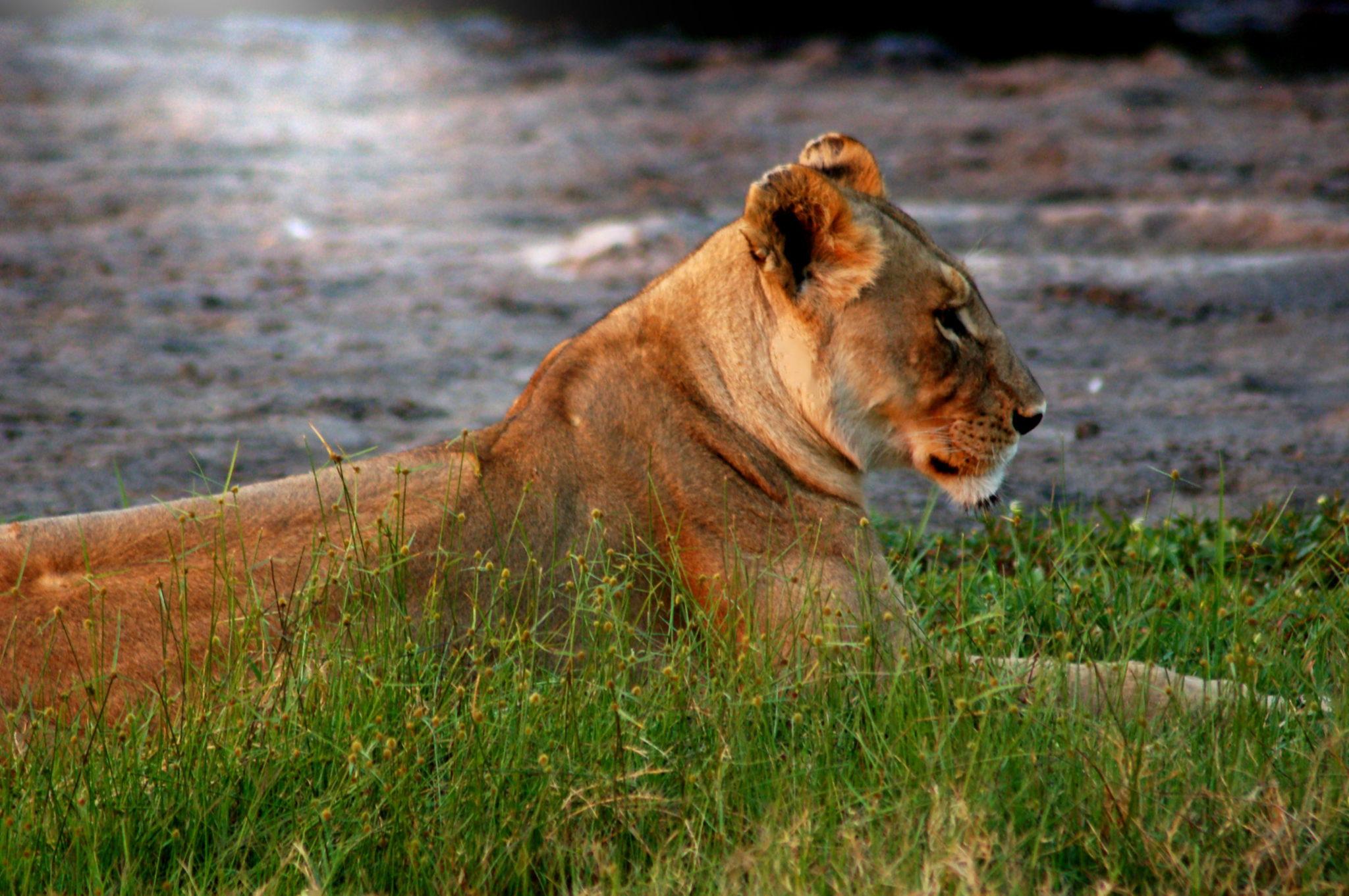 lioness-botswana