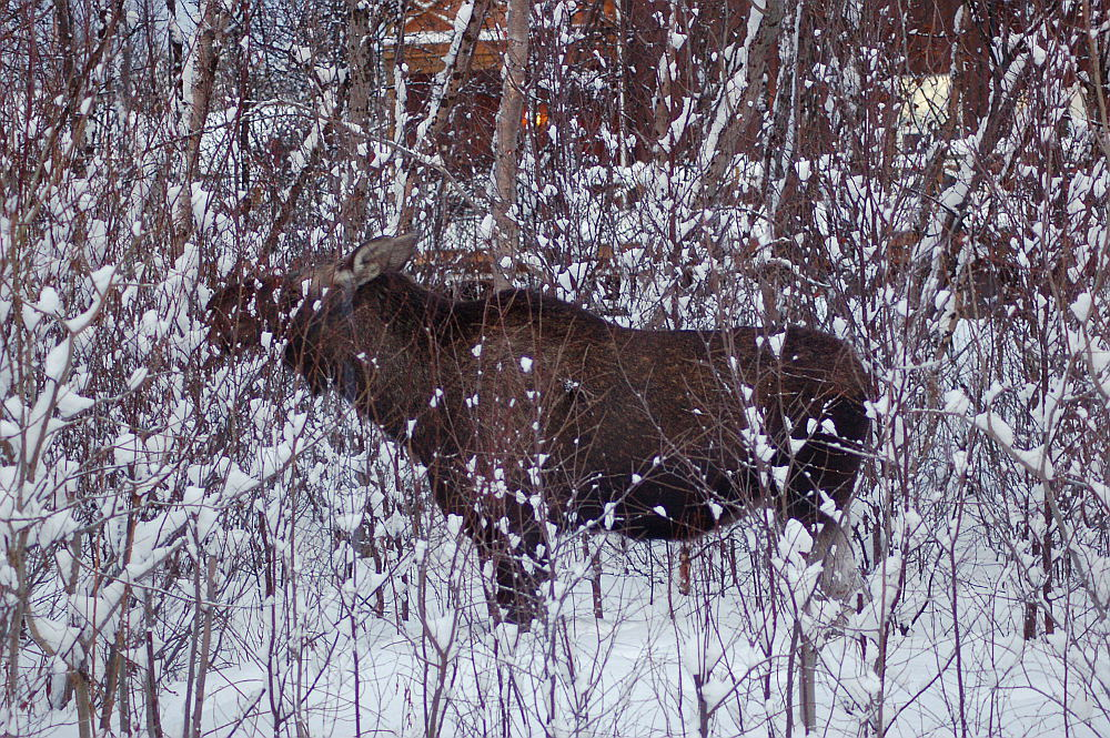 A moose in the backyard, Alta